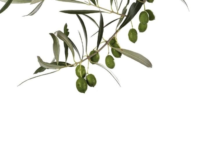 Olive leaf (Olea europae) powder Image