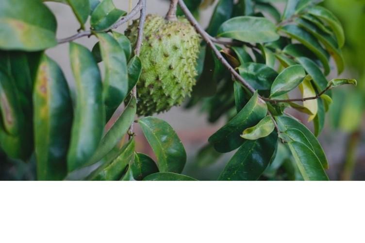 Graviola leaves Image
